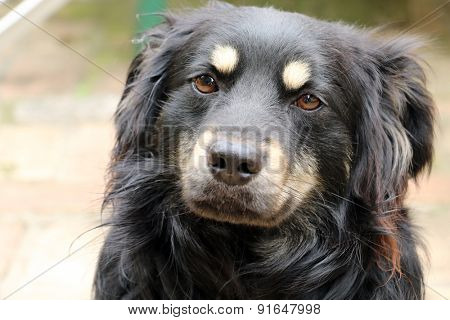 black terrier dog