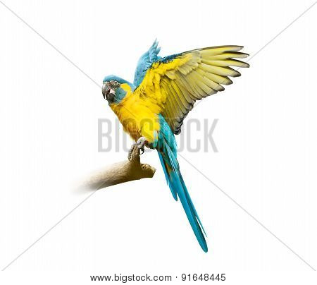 Blue Ara Isolated On White With Fly Opened Wings