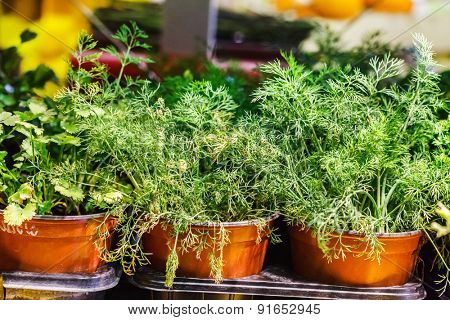 herbs in the pot