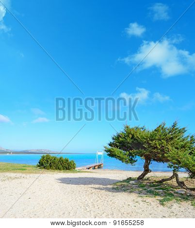 Pine Trees By The Sea In Stintino