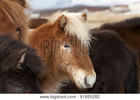 Icelandic Horse In A Herd