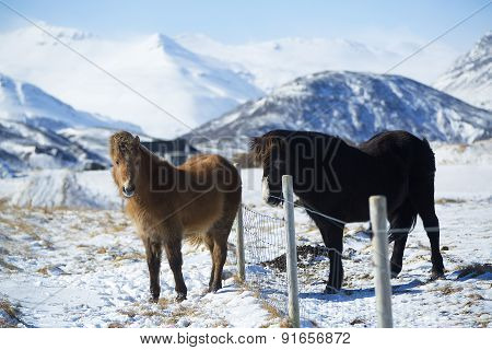 Two Icelandic Horses On A Meadow In Winter