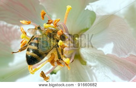 Honey bee collecting pollen from flowers