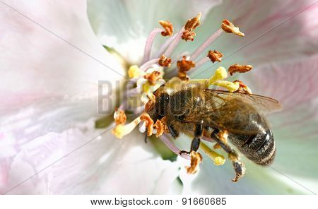 Bee on white flowers collecting pollen