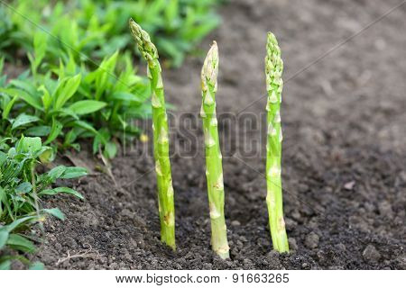 Organic farming asparagus in black soil