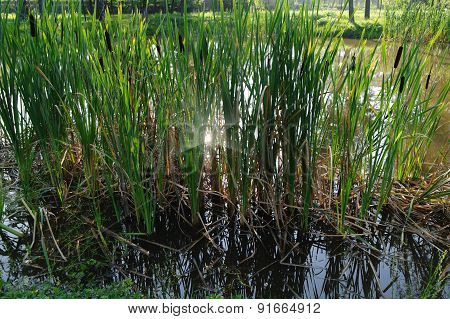 Reed At The Pond In Sunny Day