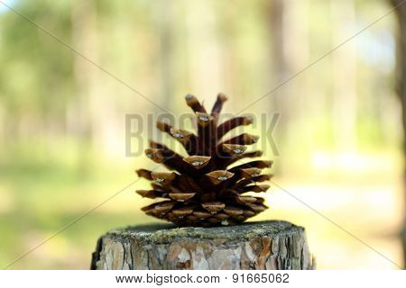 Pine cone on stump in forest