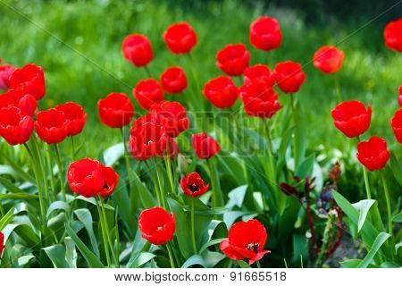 Beautiful tulips blooming in garden