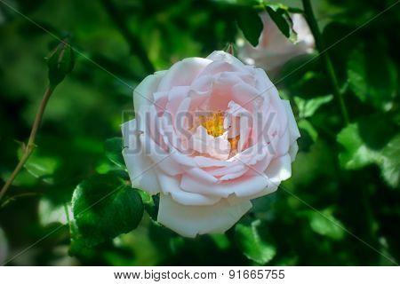 Pink Rose Briar Blooming