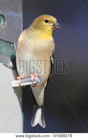 American Goldfinch (carduelis Tristis) On A Feeder