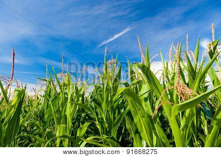 Plants of green corn on a plantation