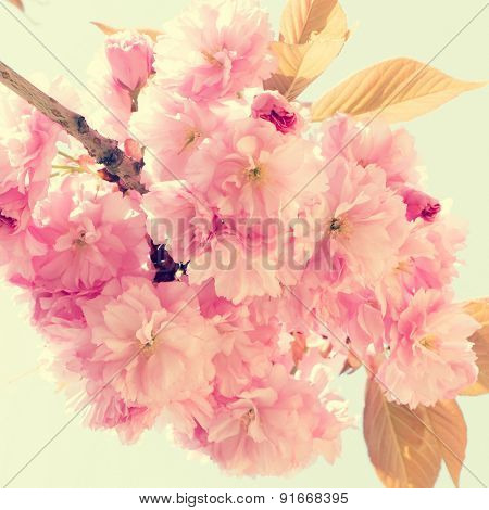 Sakura pink flower on spring sky background. Toned photo