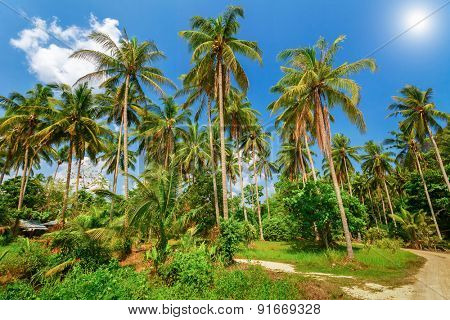 Tropical palm plantation in Ao-Nang. Krabi. Thailand