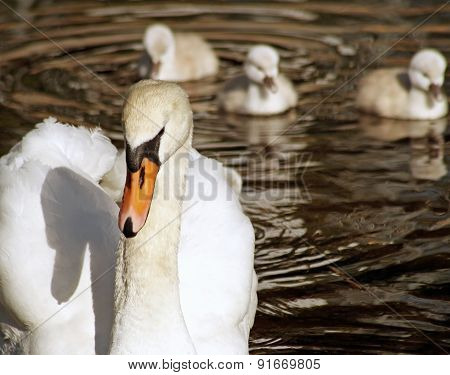 Beautiful Mute Swan with her young babies following close behind