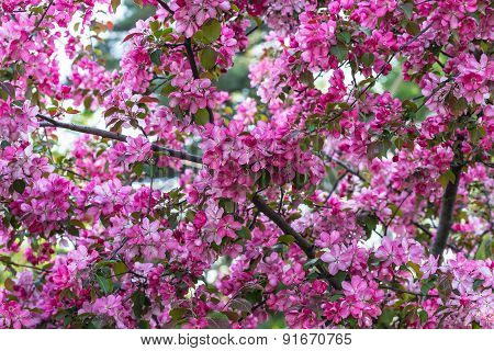 Pink Sakura Flowers Background