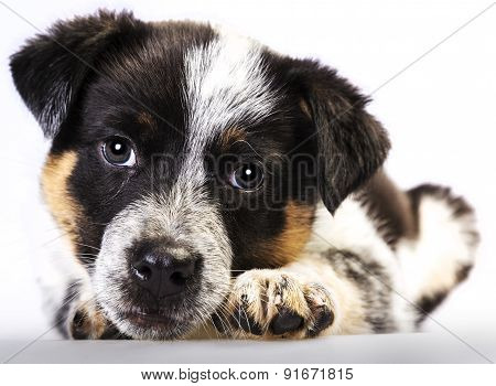 Cute Texas Heeler Puppy