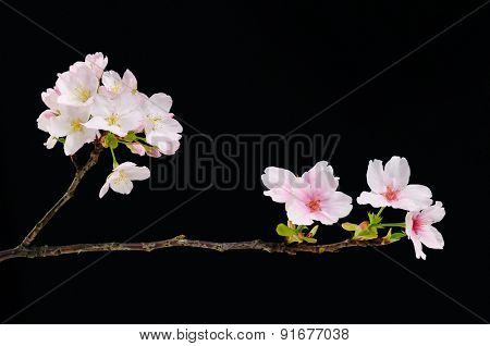 Spring flowering branches, pink flowers