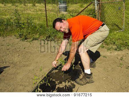 Organic Farmer Adjusting A Tomato Cage