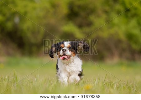 Running Cavalier King Charles Dog