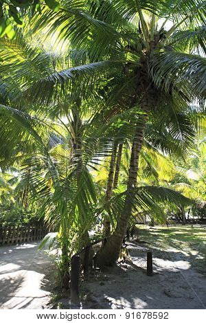 Beautiful palm trees on the coast of Anse Lazio.