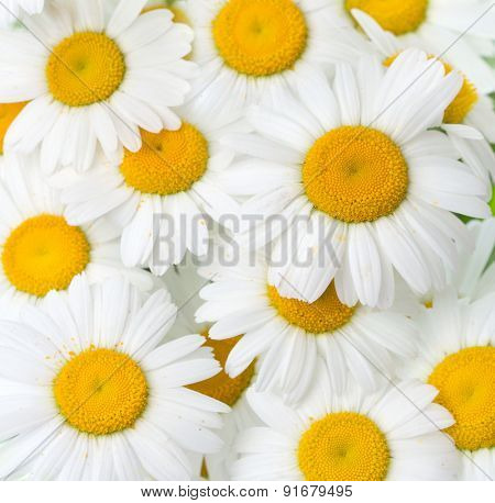 Background of chamomile flowers