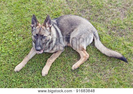 German Shepherd, puppy on a lawn.