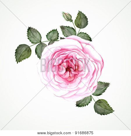 Pink tea rose blossom with leaves and bud. Watercolor image vector.