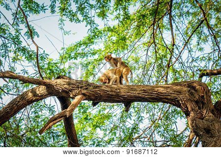 Monkey Mating On The Tree
