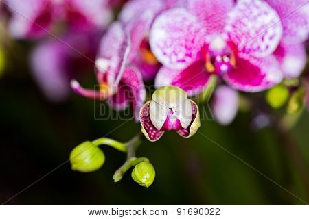 Phalaenopsis Hybrid Orchid Flower, Close Up, Selective Focus