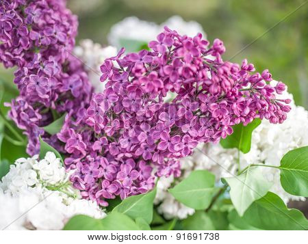 Blooming lilac flowers in the garden at the sunny day.
