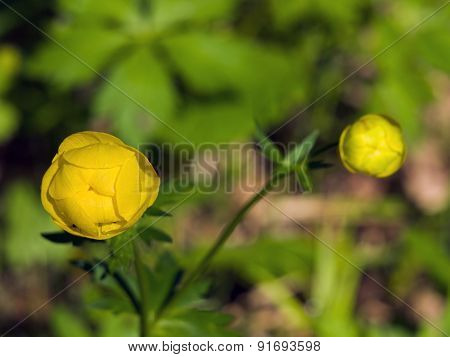 Yellow globe-flower in spring
