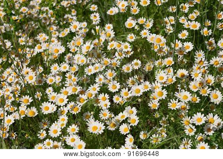 Daisies Growing On The Field