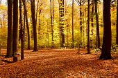 image of fall trees  - colorful sunlit fall forest with fallen leaves covering the ground - JPG