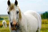 foto of white horse  - White horse standing looking at the camera - JPG