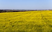 picture of rape  - an agricultural field in which rape blossoms - JPG