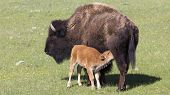 pic of calves  - Bison feeding milk to its calf at Yellowstone National Park - JPG