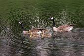 picture of canada goose  - Canada Goose  - JPG
