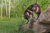 image of lupus  - Black Wolf  - JPG