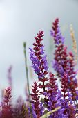 picture of purple sage  - Sage flowers - JPG
