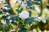 image of gardenia  - gardenia flowers - JPG