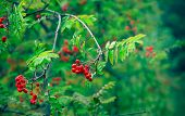 image of rowan berry  - Berries of red rowan - JPG