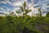 pic of apple orchard  - Nice and juicy apple orchard in the evening at sunset - JPG