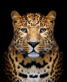 picture of jungle animal  - Close up leopard portrait on dark background - JPG