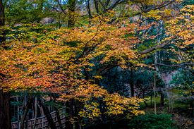 stock photo of glorious  - A walk in the park among maple trees in glorious autumn - JPG