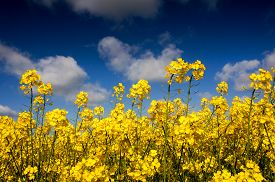 picture of rape-field  - Yellow Canola field Rape field. Blue cloudy sky agriculture background. Spring nature landscape. ** Note: Visible grain at 100%, best at smaller sizes - JPG