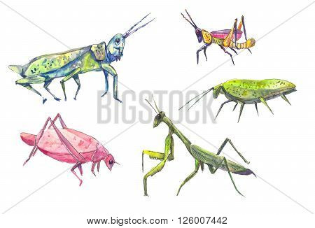 Grasshoppers set. Set of grasshoppers and locust in watercolor.