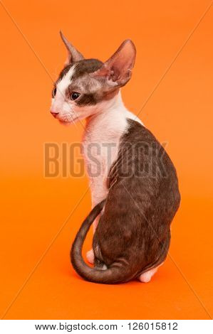 Kitten Cornish Rex view from the back bright orange background