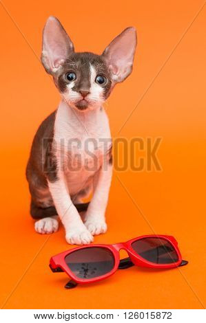 Little kitten Cornish Rex and sunglasses on orange background