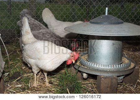 Happy Free Range Chicken Drinking Water In Backyard