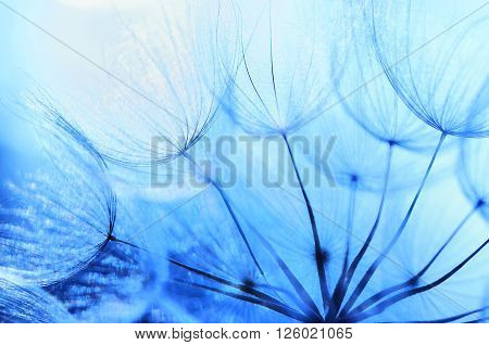 Close up Beautiful Blue Dandelion shoot by macro lens